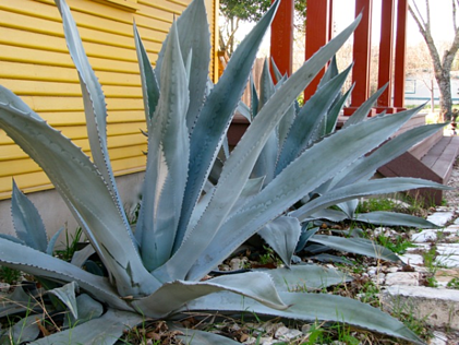Blue agave salvaged plants