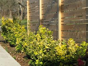 Golden euonymus salvaged plants