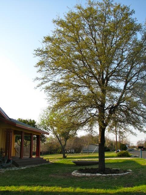 Salvaged plants - oak tree