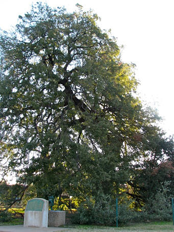 Treaty Oak Sacred Place