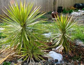 yucca - salvaged plants