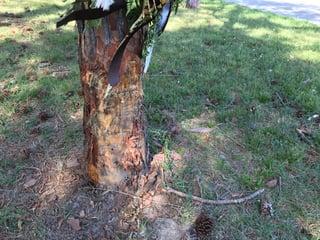 Joseph_Lesky_Memorial_Scarred_Tree_Trunk.jpg